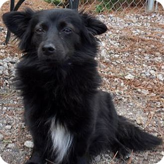 Schipperke/Papillon Mix Dog for adoption in Athens, Georgia - Lexy