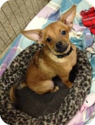 Chihuahua Mix Dog for adoption in Mesa, Arizona - Mini Moose