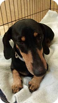 Dachshund Dog for adoption in Scottsdale, Arizona - Nicholas