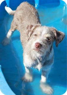 Terrier (Unknown Type, Medium)/Australian Shepherd Mix Puppy for adoption in Norwalk, Connecticut - Byron - adoption pending