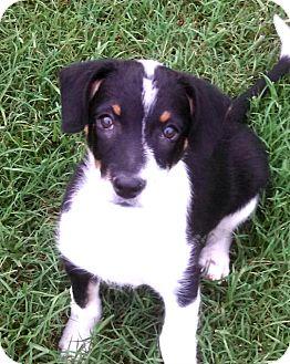 Australian Shepherd/Border Collie Mix Puppy for adoption in Silsbee, Texas - Depo