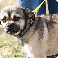 Adopt A Pet :: Pugsly - Mr. Personality! - Ocala, FL