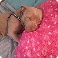 Adopt A Pet :: Sadie - Berlin, CT