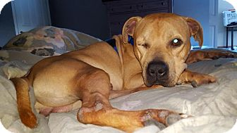American Pit Bull Terrier/American Staffordshire Terrier Mix Dog for adoption in Mt. Clemens, Michigan - Jedi