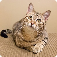 Domestic Shorthair Cat for adoption in Chicago, Illinois - Ponti
