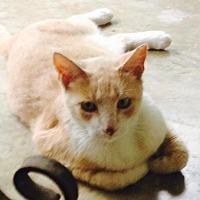 Adopt A Pet :: Simba - San Antonio, TX