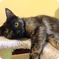 Domestic Mediumhair Cat for adoption in Mooresville, North Carolina - A..  Pamela