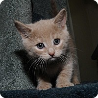 Adopt A Pet :: Dimpley - Mississauga, Ontario, ON