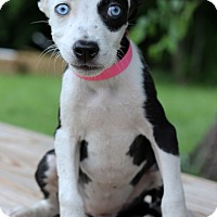 Adopt A Pet :: Katelyn - Waldorf, MD