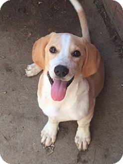 Beagle Mix Puppy for adoption in McKinney, Texas - Rio