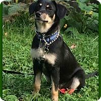 Adopt A Pet :: Stewie - Elburn, IL