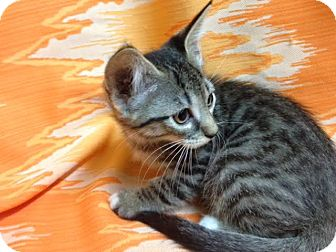 Bengal Kitten for adoption in Dallas, Texas - Sparrow