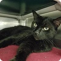Adopt A Pet :: Katt - Elyria, OH