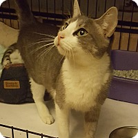 Domestic Shorthair Cat for adoption in Bronx, New York - Sapphire