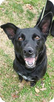 Shepherd (Unknown Type) Mix Dog for adoption in Chestertown, Maryland - Diesel