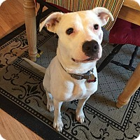 Pit Bull Terrier Mix Dog for adoption in ST LOUIS, Missouri - Sadie