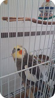 Cockatiel for adoption in Punta Gorda, Florida - Papette