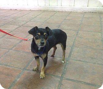 Dachshund Mix Dog for adoption in Mesa, Arizona - CALI