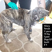 Adopt A Pet :: Hilary*FOSTER NEEDED!* - Chicago, IL