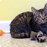 Adopt A Pet :: Loxley - Fairfax, VA