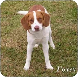 Foxy | Adopted Dog | Oct_09 | Harlan, IA | Beagle/Foxhound Mix