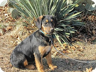 Shepherd (Unknown Type)/Hound (Unknown Type) Mix Puppy for adoption in Oakland, Arkansas - Hope