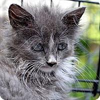Adopt A Pet :: Misty - Brooklyn, NY