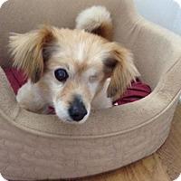 Adopt A Pet :: Fergie - Lomita, CA