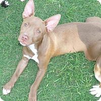 Adopt A Pet :: Nina - Parker, CO