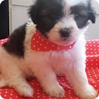 Adopt A Pet :: Dorothy's Pup 2 - Las Vegas, NV