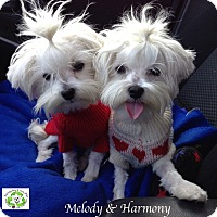 Adopt A Pet :: Harmony bonded to Melody - Encino, CA