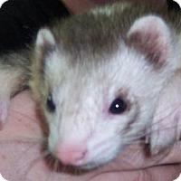 Adopt A Pet :: Dasterly Dan - Balch Springs, TX