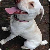 Weimaraner/Labrador Retriever Mix Dog for adoption in Spring, Texas - Casper