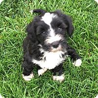 Adopt A Pet :: Sebastian - Fairview Heights, IL