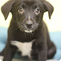 Adopt A Pet :: Chubs- Adoption Pending - Waldorf, MD