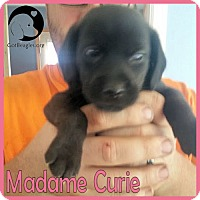 Adopt A Pet :: Madame Curie - Pittsburgh, PA