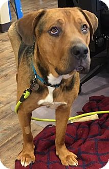 Rottweiler/German Shepherd Dog Mix Dog for adoption in Covington, Washington - Drax-NEEDS A SPONSER