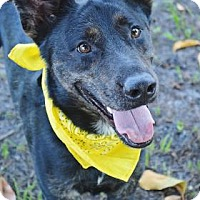 Shepherd (Unknown Type)/Labrador Retriever Mix Dog for adoption in Loxahatchee, Florida - Dutch 647