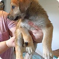 Adopt A Pet :: Pepper - Chino Hills - Chino Hills, CA