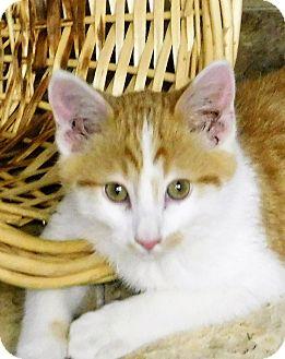 Domestic Mediumhair Kitten for adoption in Montgomery City, Missouri - Cashew