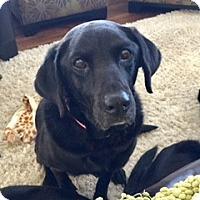 Adopt A Pet :: Felicity - Denver, CO