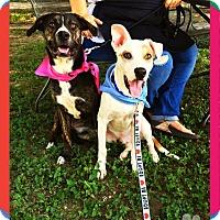 Adopt A Pet :: Alex - Converse, TX