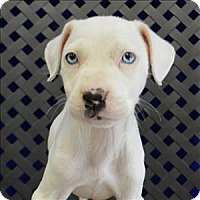 American Pit Bull Terrier/American Bulldog Mix Puppy for adoption in Fort Davis, Texas - Annabelle