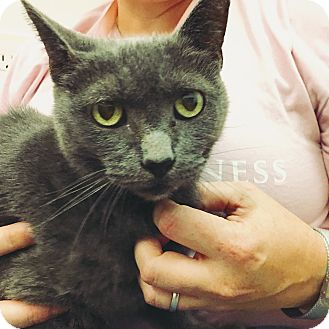 Russian Blue Cat for adoption in Marina del Rey, California - Ashley