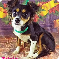 Chihuahua Dog for adoption in Griffin, Georgia - Trixie