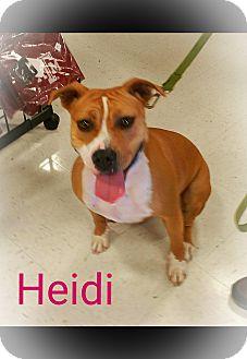American Bulldog/Staffordshire Bull Terrier Mix Dog for adoption in Houston, Texas - Heidi