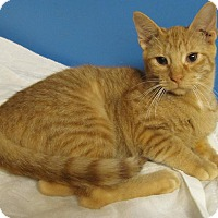 Domestic Shorthair Cat for adoption in Covington, Kentucky - Rainbow
