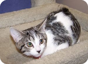 Domestic Shorthair Kitten for adoption in Colorado Springs, Colorado - K-Psyche3-Nonee