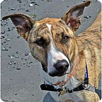 Adopt A Pet :: Star - in Maine! - kennebunkport, ME