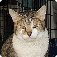 Domestic Shorthair Cat for adoption in Woodstock, Illinois - El Dura